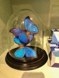 2 blauwe vlinders morpho vlinders
