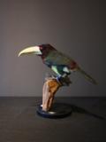 Opgezette Toucanet Vogel