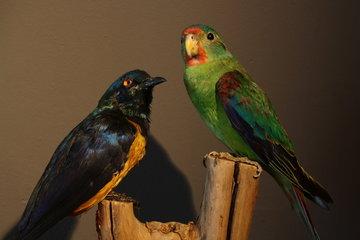 2 Opgezette Vogels