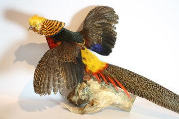 Opgezette Goudfazant met Gespreide Vleugels