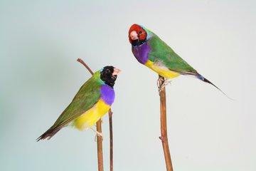Opgezette Gouldamadine Vogeltjes
