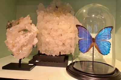 Blauwe Vlinder Onder Stolp (Morpho)