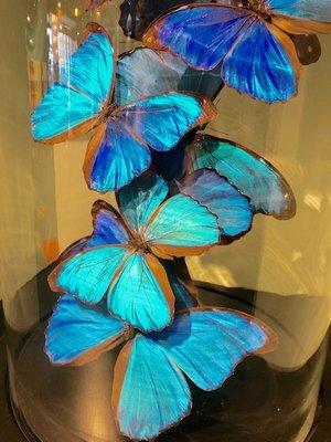 Vlinderstolp: 10 Blauwe Morpho Vlinders