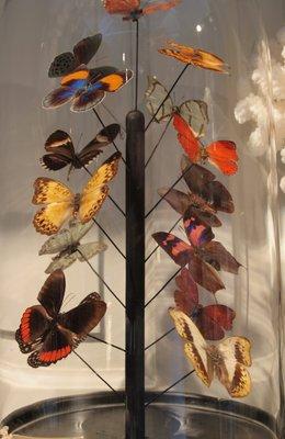15 Opgezette Vlinders Onder Stolp