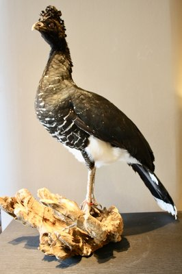 Opgezette Maskerhokko Vogel