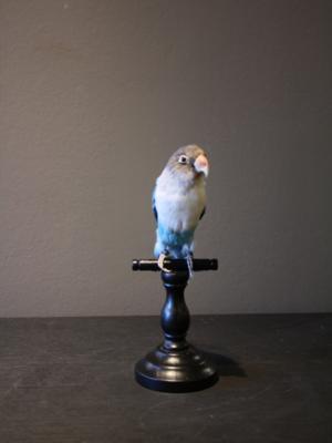 Opgezette Vogel Parkiet Blauw