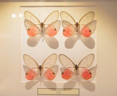 4 opgezette Cithaerias Pireta Vlinders In Lijst