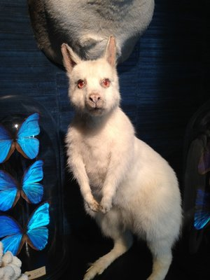 Opgezette Albino Wallaby