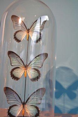 3 Opgezette Zalmoxis Vlinders In Stolp