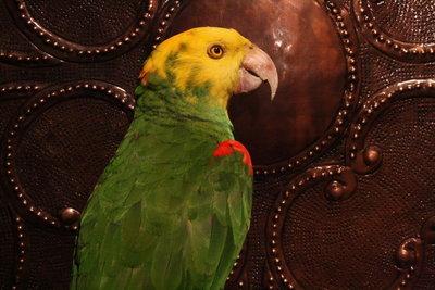 Geelkop Amazone Papegaai