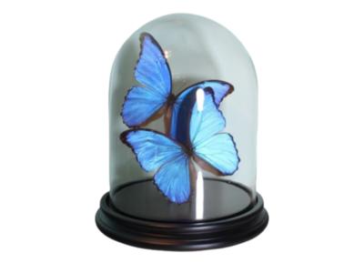 2 Opgezette Blauwe Vlinders Onder Stolp