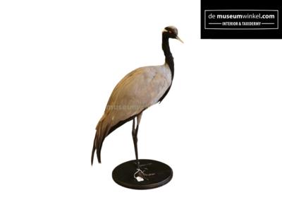 Opgezette Jufferkraanvogel