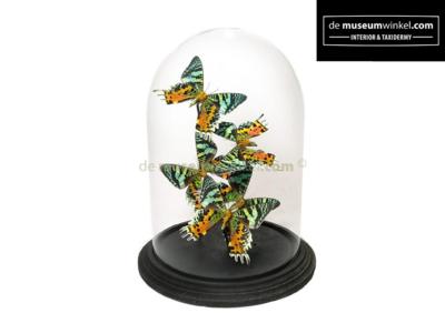 Vlinderstolp met Urania Ripheus vlinders