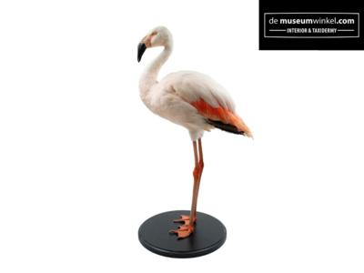 Opgezette Chileense Flamingo