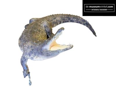 Opgezette Krokodil