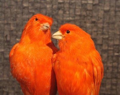 Paar Opgezette Rode Kanaries