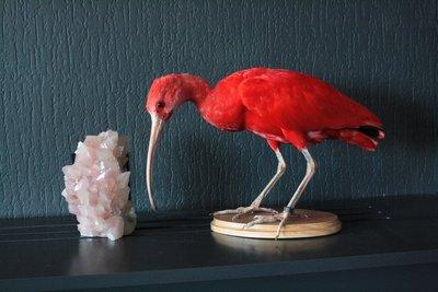 Opgezette Rode Ibis (Wadend) Ibis Rouge naturalisés