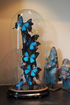 360° Vlinderstolp: 14 Blauwe Vlinders Papilio Ulysse Ulysse