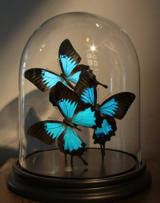 3 Opgezette Blauwe Vlinders Onder Stolp