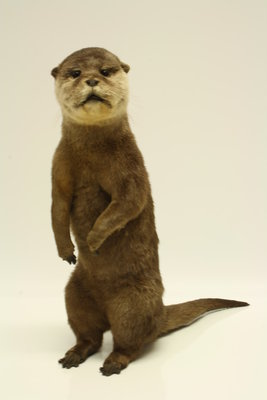 Opgezette Dwerg Otter