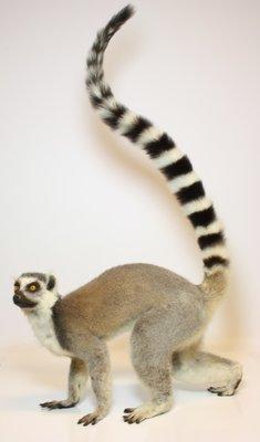 Ringstaartmaki - Lemur