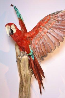 Opgezette Papegaai: Vliegende Rode Groenvleugel Ara