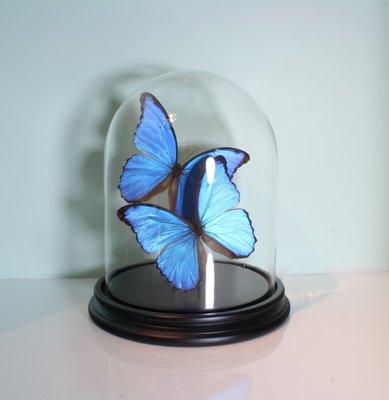 2 Opgezette Blauwe Morpho Vlinders Onder Stolp