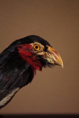 Opgezette Senegalese TandBaardvogel
