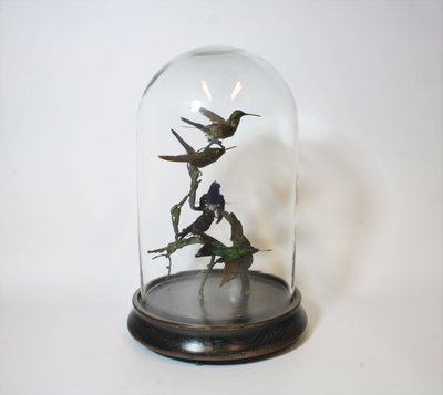 5 Opgezette Kolibries Onder Glazen Stolp