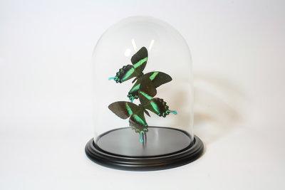 2 Opgezette Groene Vlinders Onder Stolp