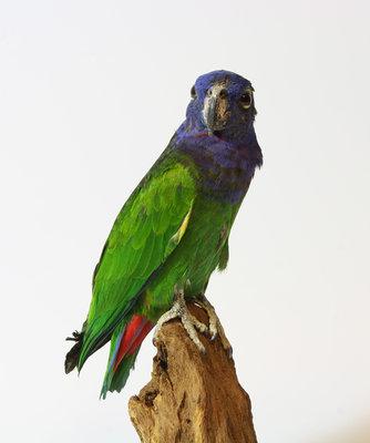 Opgezette vogel: Lori Papegaai