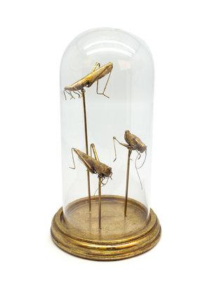 3 Gouden Insecten In Stolp - 30 cm