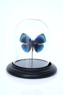 Blauwe Vlinder Onder Stolp *