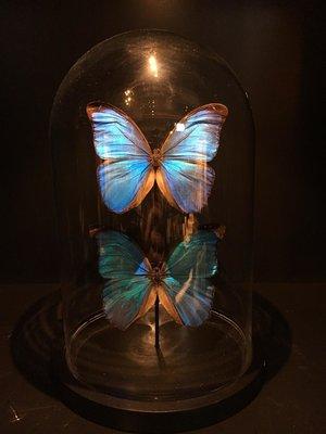 Vlinderstolp: 2 Blauwe Morpho Vlinders