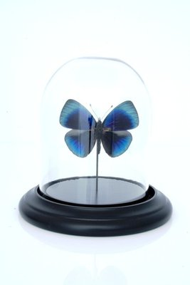 Blauwe Vlinder Onder Stolp