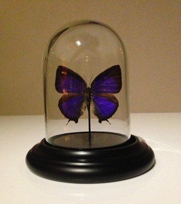 Blauw Paarse Vlinder Onder Stolp