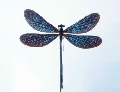 Blauwe Libelle Onder Stolp