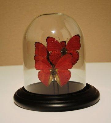 3 Rode Vlinders Onder Stolp
