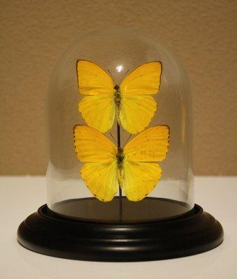 2 Gele Vlinders Onder Stolp