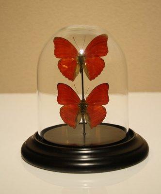 2 Rode Vlinders Onder Stolp