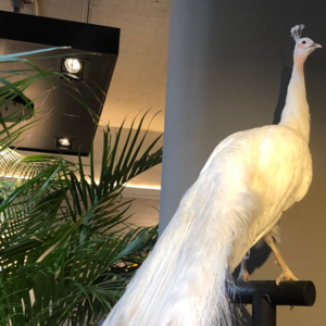 opgezette witte pauw taxidermy opgezette dieren luxury by nature